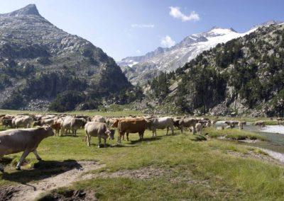 vacas aigualluts 2